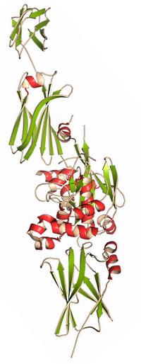Tissue transglutaminase