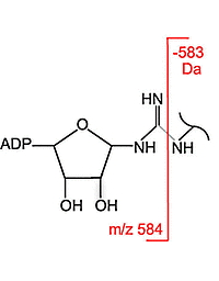 Gas-Phase Fragmentation of ADP-Ribosylated Peptides: Arginine-Specific Side-Chain Losses and Their Implication in Database Searches