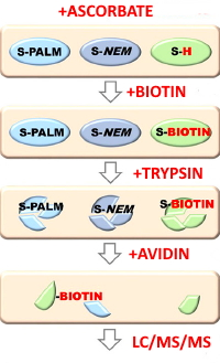 Stress-induced Changes in the S-palmitoylation and S-nitrosylation of Synaptic Proteins